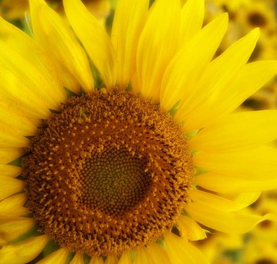 sunflower - http://www.dreamstime.com/-image24682595