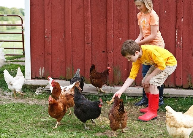 Children playing with chickens 9000 - images