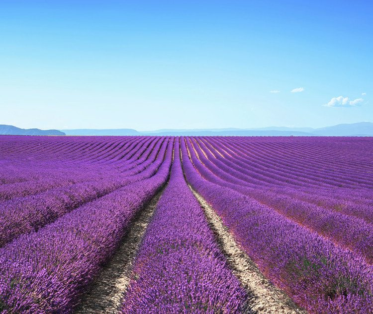 Go-Lavender-Picking
